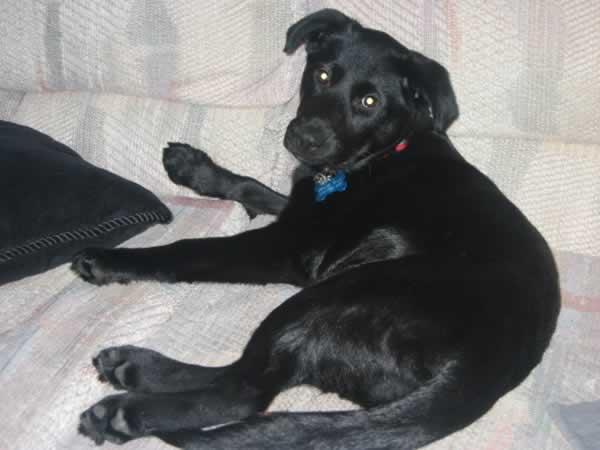 Dog Trainer Victoria Bc Labrador